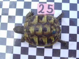 Foto 2 Griechische Landschildkröten mit Papieren2011