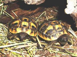 Foto 2 Griechische Landschildkröten zu verkaufen