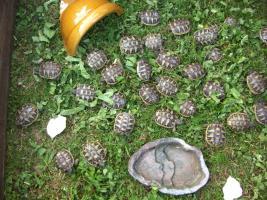 Foto 3 Griechische Landschildkröten zu verkaufen