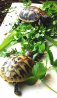 Foto 4 Griechische Landschildkröten zu verkaufen