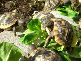 Foto 7 Griechische Landschildkröten zu verkaufen