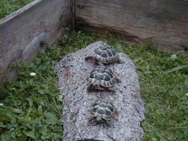 Griechische LandschildkrötenT.h.b