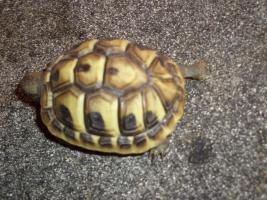 Griecjische Landschildkröte