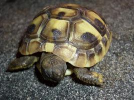 Foto 4 Griecjische Landschildkröte