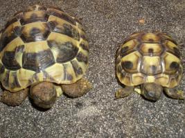 Foto 5 Griecjische Landschildkröte