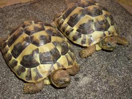 Foto 6 Griecjische Landschildkröte