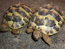 Foto 7 Griecjische Landschildkröte