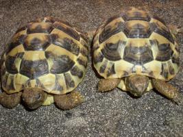 Foto 8 Griecjische Landschildkröte