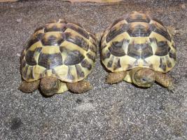 Foto 9 Griecjische Landschildkröte