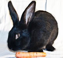Große Kaninchen