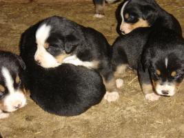 Foto 3 Grosse Schweizer Sennehunde
