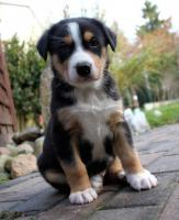 Gro�e Schweizer Sennenhunde vom Himmelsring  m. Papieren