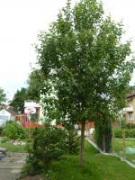 Großer Apfelbaum zu verkaufen
