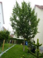 Foto 2 Großer Apfelbaum zu verkaufen