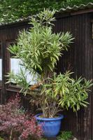 Großer Oleander, rot oder lachs blühend