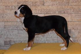 Foto 2 Grosser Schweizer Sennenhund FCI Welpen