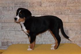 Foto 3 Grosser Schweizer Sennenhund FCI Welpen