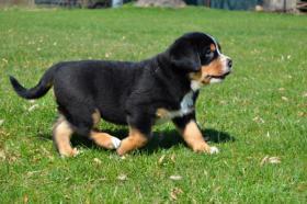 Foto 2 Grosser Schweizer Sennenhund Stammbaum FCI