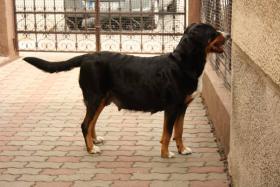 Foto 3 Grosser Schweizer Sennenhund Welpen mit Papiere