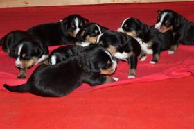 Foto 2 Grosser Schweizer Sennenhund Welpen mit Papiere FCI