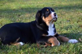 Foto 2 Grosser Schweizer Sennenhund - FCI Stammbaum
