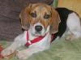 Großes Herz zu verschenken von `Moritz` reinrassiger Beagle, männlich, 1 Jahr jung
