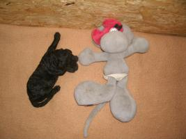 Foto 5 Gro�pudel-Welpen (K�nigspudel) Hausaufzucht !!!