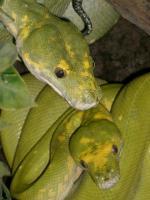 Grünebaumpython