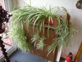 Foto 2 Gr�nlilie ''Spinne''