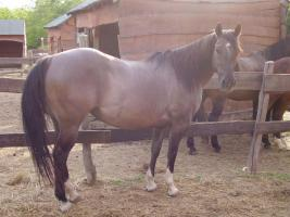 Grullo Quarter horse Stute