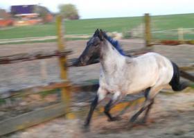 Foto 2 Grullo quarter Horse Hengst Yahooty 3 Bars