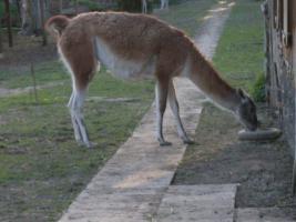 Foto 3 Guanakos  alle Tiere f�r 3000EURO