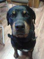 Foto 2 Gutmütiger, verschmuster Rottweilerrüde sucht neues liebes Zuhause