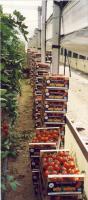 Foto 6 HERSTELLER OBST GEMÜSE ORANGEN ARTISCHCKEN CLEMENTINEN AUBERGINE CHERRYTOMATEN ROMA FLEISCHTOMATEN