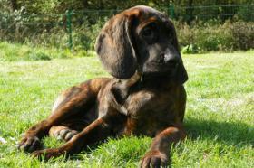 HS-Welpen (hannoverian bloodhound)