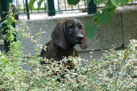 Foto 3 HS-Welpen (hannoverian bloodhound)