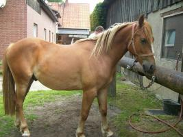 Haflinger Paint Mix