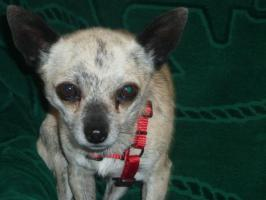 Hallo ich bin Monti, ein Reinrassiger Kurzhaar Chihuahua Rüde