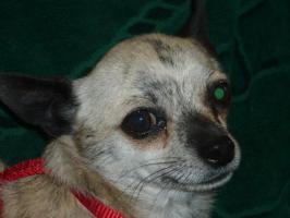 Foto 2 Hallo ich bin Monti, ein Reinrassiger Kurzhaar Chihuahua Rüde