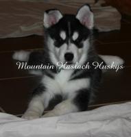 Hallo ich heiße Coaly Inuit und bin 13 Wochen alt