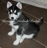 Foto 2 Hallo ich hei�e Coaly Inuit und bin 13 Wochen alt
