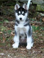 Foto 3 Hallo ich hei�e Coaly Inuit und bin 13 Wochen alt