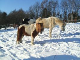 Hallo wir suchen ein liebes Shetty/Pony als Beistellpferd für unsere liebe kleine Herde