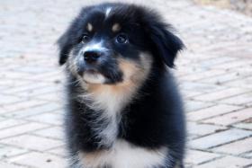 Hallo, ich bin Mia eine Black Tri Australian Shepherd Hündin und suche...