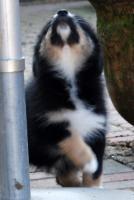 Foto 2 Hallo, ich bin Mia eine Black Tri Australian Shepherd Hündin und suche...