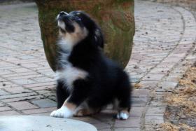 Foto 3 Hallo, ich bin Mia eine Black Tri Australian Shepherd Hündin und suche...