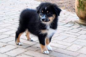 Foto 4 Hallo, ich bin Mia eine Black Tri Australian Shepherd Hündin und suche...