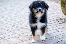 Foto 5 Hallo, ich bin Mia eine Black Tri Australian Shepherd Hündin und suche...