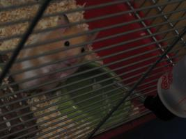 Hamster mit komplettem Zubehör und Käfig
