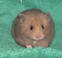 Foto 2 Hamster - Teddyhamster aus Artgerechter Zucht